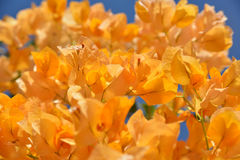 Orange Bouganvilla Stockbild