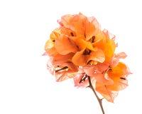 Orange Bouganvilla lokalisiert Stockfoto