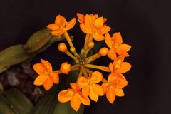 Orange bouquet of small orchid flowers. Set of beautiful orange orchid flowers Royalty Free Stock Image