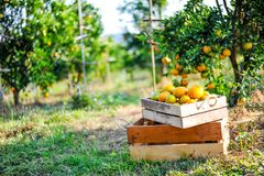 Orange in the box is not stored. And orange in the citrus garden royalty free stock photography