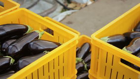 The orange boxes are packed ripe eggplants for transportation. stock video
