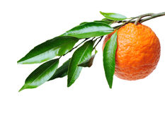 Orange Branch. Orange-tree branch with one orange isolated in white Royalty Free Stock Photos