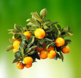 Orange branch. On soft green background Royalty Free Stock Image