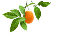 Orange on branch Stock Photos