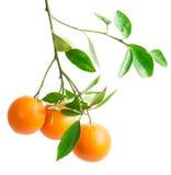 Orange. Branch with fresh ripe orange fruits, isolated on white background Royalty Free Stock Photos