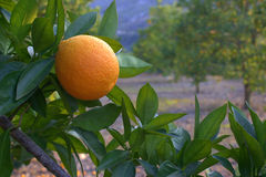Orange on a branch. Stock Images