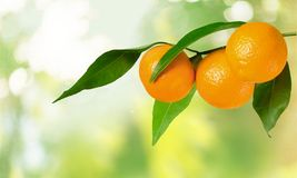 Orange Branch Stock Photography