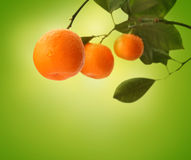 Orange branch on green royalty free stock photography