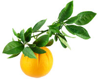 Orange on a branch with leaves. 