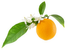 Orange on a branch with leaves and a flowers. Isolated on a white background Royalty Free Stock Photography