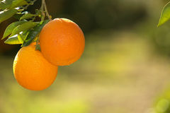 Orange, branch orange tree Royalty Free Stock Image