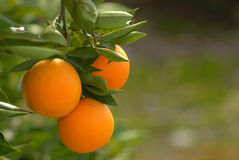 Orange, branch orange tree Royalty Free Stock Photos