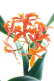 Orange branch of orchids Royalty Free Stock Photo