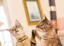Orange braune Bengal-Katze, die im Spiegel sich reflektiert Stockfoto