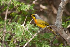 Orange-breasted Bush-shrike Stock Photography