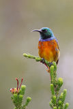 Orange Breasted Sunbird Lizenzfreies Stockfoto