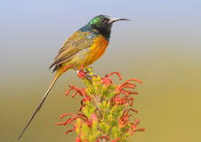 Orange Breasted Sunbird Royalty Free Stock Image