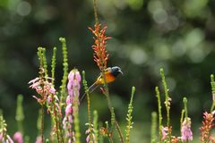 Orange Breasted Sunbird Stock Photos