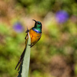 Orange-breasted Sunbird Stock Photos