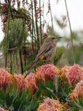 Sunbird on a protea stock photography