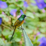 Orange-breasted Sunbird Royalty Free Stock Photo
