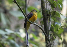 Orange-breasted Trogon Stockbild