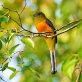 Orange-breasted Trogon Stock Images