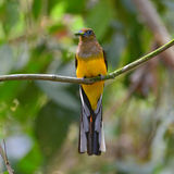 Orange-breasted Trogon bird Royalty Free Stock Photos