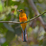 Orange-breasted Trogon bird Royalty Free Stock Photography