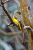 Orange-breasted Trogon female Royalty Free Stock Image