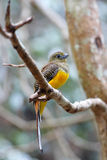 Orange-breasted Trogon female Royalty Free Stock Photo