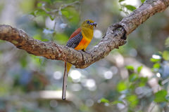 Orange-breasted Trogon Harpactes oreskios Male Birds Feeding Stock Photos
