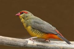 Orange-Breasted Waxbill Bird Stock Images