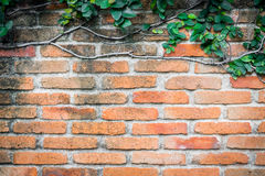 Orange brick wall with climbing plan for background Stock Photos