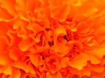 Orange bright flower. Stock Photos