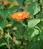 Orange Brightens the Garden. Orange flower highlighted in garden with greenery Stock Photo