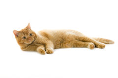 Orange british pedigree cat Stock Photos