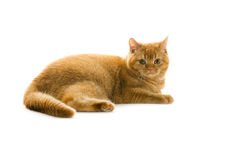 Orange british pedigree cat Royalty Free Stock Photo