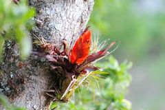Orange bromeliad flower on tree in the cloud forest jungle Stock Photography