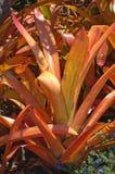 Orange bromeliad. A heat-stressed bromeliad on Maui Royalty Free Stock Photography