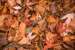 Brown and orange autumn leaves background. Royalty Free Stock Photo