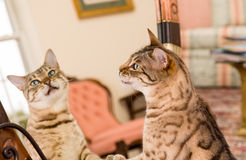 Orange brown bengal cat reflecting in mirror Royalty Free Stock Images