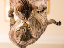 Orange brown bengal cat reflecting in mirror Stock Photos