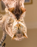Orange brown bengal cat reflecting in mirror Royalty Free Stock Images