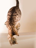 Orange brown bengal cat reflecting in mirror Stock Images