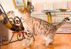 Orange brown bengal cat reflecting in mirror Royalty Free Stock Image