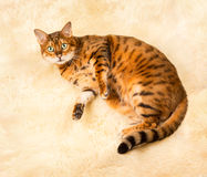 Orange brown bengal cat on wool rug Royalty Free Stock Images