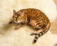 Orange brown bengal cat on wool rug Stock Photo