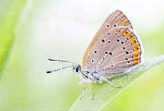Orange brown buttefly on a plant leaf Stock Images