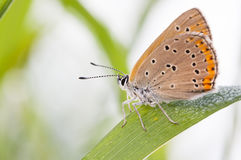 Orange brown buttefly on a plant leaf Royalty Free Stock Photo
